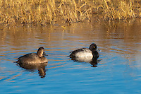 A pair of lesser scaup on a record-breaking cold morning in the St. Marks National Wildlife Refuge. It was a whopping 13°F (-11°C) on the North Florida Gulf Coast!