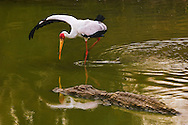 Yellow-billed stork fishing, Mycteria ibis, Luangwa Valley, Zambia