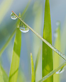 WETLAND MARSH: DEW