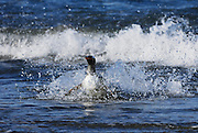 Gentoo penguin makes a big splash coming into shore.