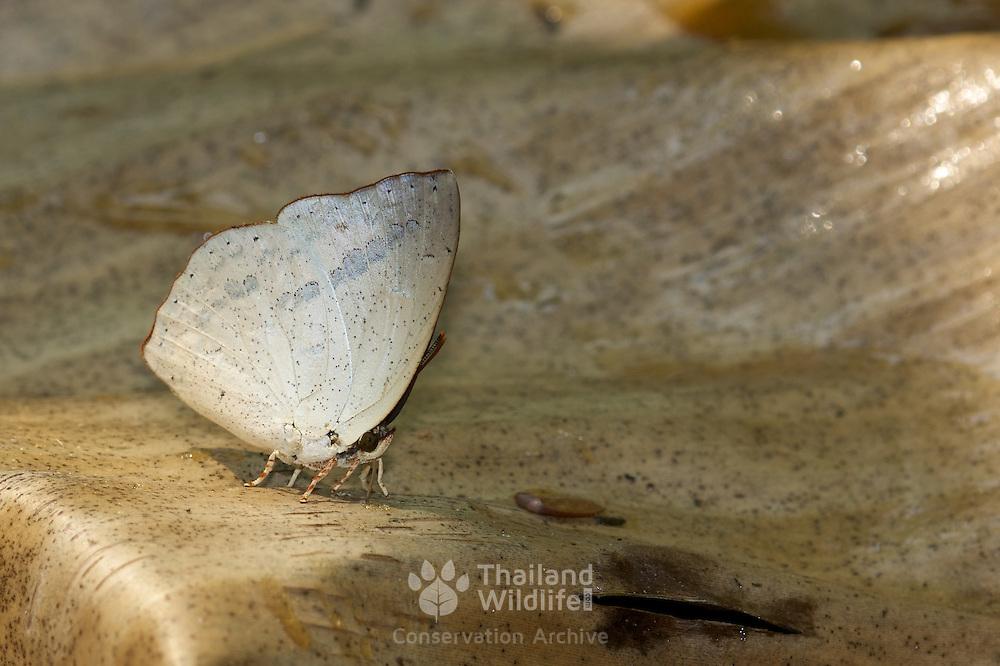 Malayan Sunbeam butterfly, Curetis santana malayica.