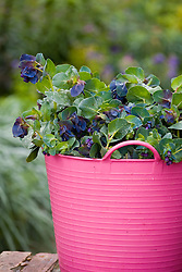 Bucket of picked Cerinthe major 'Purpurascens'