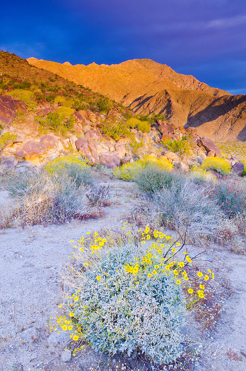 Morning light on Brittlebush under San Ysidro Mountain, Anza-Borrego Desert State Park, California USA