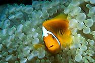 White-bonnet anemonefish, Amphiprion leucokranos, Papua New Guinea, Pacific Ocean