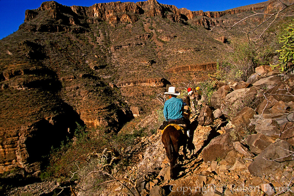 MEXICO, BAJA CALIFORNIA mule train in San Pablo Canyon