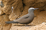 Brown Noddy photos