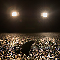 A common toad (Bufo bufo) on the road in fornt of a car. Many toads are killed in traffic. Vanlig padda,<br /> Location: Skan&ouml;r, Sweden