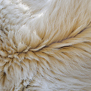The underbelly fur of a large male polar bear. Kaktovik, Alaska