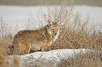 Coyote out on the hunt for mice and voles you can see by his nose he has been probing the snow.
