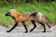 Red fox (Vulpes vulpes), West Dawson, Yukon, Canada. The red fox is one of the most widely distributed members of the order Carnivora, found across the entire Northern Hemisphere from the Arctic Circle to North Africa, North America and Eurasia. It comes in many colorings and sub-species. This versatile animal has colonized many suburban and urban areas.