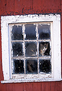 Cat looking out window of red barn