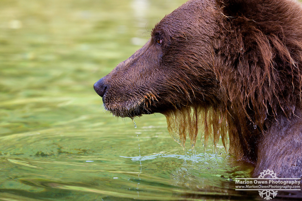 Profile of coastal brown bear in Katmai National Park and Preserve, SW Alaska, summer