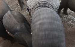 Elephants are among the world's most intelligent species. They express a wide variety of behaviors, including those associated with grief, learning, altruism, use of tools, compassion, self-awareness, memory, and language. Researchers recently discovered that elephants can distinguish differences in human gender, age, and ethnicity purely by the sound of someone's voice.<br /> <br /> Reteti Elephant Sanctuary, in northern Kenya is the first ever community-owned and run elephant sanctuary in Africa. The sanctuary provides a safe place for injured elephants to heal and later, be returned back to the wild.  You can support this incredible place and the people who protect wildlife. Make a $10 contribution in support of Reteti for a chance to win a trip to Kenya, see Dave Matthews in concert and take home Dave's guitar with @prizeo (Link in profile). Not only will you be helping care for orphaned baby elephants and strengthening community ties, you'll also have a chance to win a life-changing trip to see the sanctuary in person. The first $10,000 in funds raised will be generously matched by Elephant Gems (@elephantgems).<br /> <br /> Reteti operates in partnership with Conservation International (@conservationorg) who provide critical operational support and work to scale the Reteti community-centered model to create lasting impacts worldwide. <br /> <br /> Photo by @amivitale.