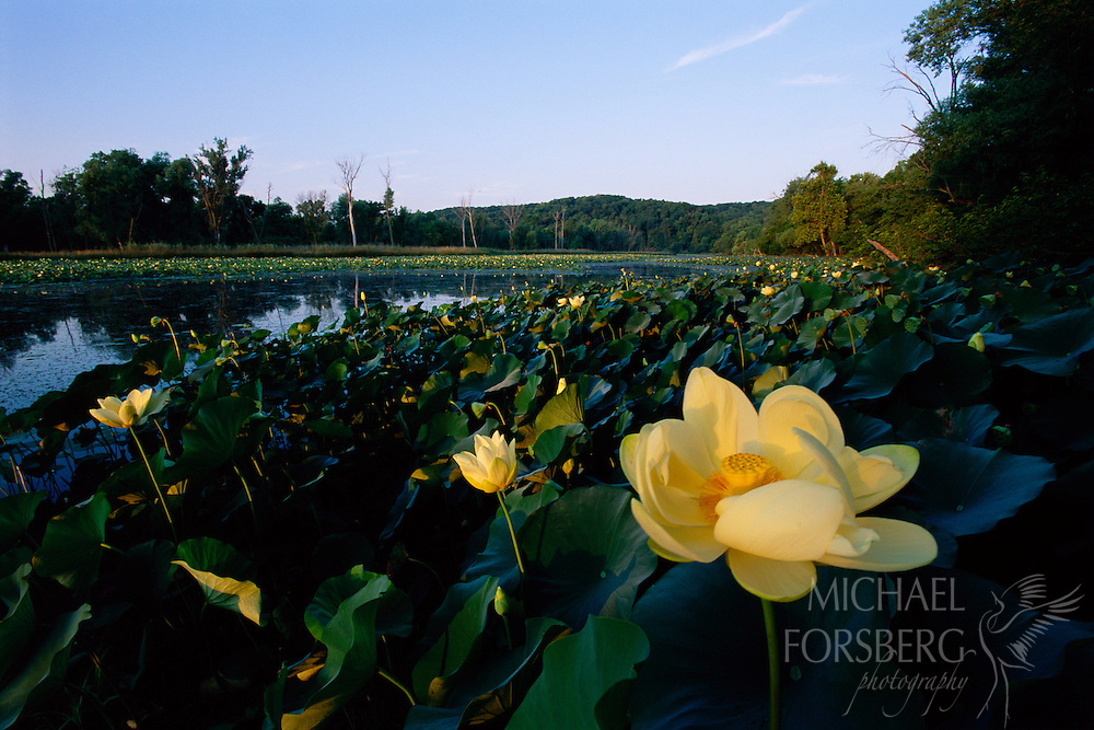 Hidden Lake, Missouri River, Fontenelle Forest, Nebraska. American Lotus flowers bloom gracefully on Hidden Lake, a restored wetlands located along the Missouri River in Fontenelle Forest, Nebraska. Submerged portions of this aquatic plant provide habitat for many micro and macro invertebrates, which in turn are used as food by fish and other wildlife species.