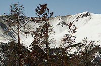Beetle-killed pine trees stand near the Continental Divide in central Colorado April 8, 2010.  Colorado has 3 million acres of forest killed by mountain pine beetles.  REUTERS/Rick Wilking (UNITED STATES)