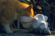 """USA, Vereinigte Staaten Von Amerika: Hauskatze (Felis catus domesticus), Felidae, ?Schneckenmuschel-Katze? trinkt Wasser aus einer Schneckenmuschel, die Katzen von Key West sind benannt nach diesen Seeschnecken, Hemingway Haus und Museum, Key West, Florida   USA, United States Of America: Domestic cat (Felis catus domesticus), Felidae, """"conch-cat"""" drinking water out of a conch, the cats on Key West are named after these sea snails, Hemingway Home and Museum, Key West, Florida  """