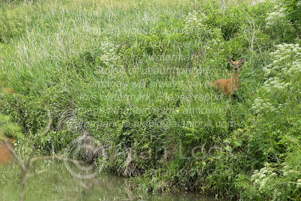 A white-tailed deer (Odocoileus virginianus) on a steep bank near a small stream