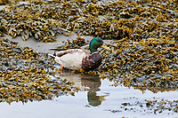Flock of Mallard (Anas platyrhynchos) along edge of shore Broad Cove, Nova Scotia, Canada,
