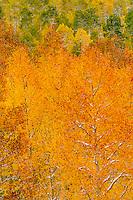 Fresh new snow decorates an autumn aspen landscape in the Uncompahgre Range & wilderness; Uncompahgre National Forest, Owl Creek Pass, Colorado