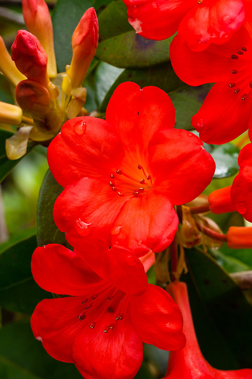 An unknown variety of Austalian Vireya Rhododendron Hybrid gracefully survives the rain at the Panaewa Rainforest Zoo on the Big Island of Hawai'i.