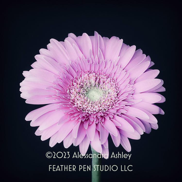 Single gerbera daisy in lavender blue tones on dark background.