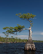 Pond cypress tree along perimeter of Blue Cypress Lake shows distinctive asymmetry as tree continued to live and grow after being damaged, © 2007 David A. Ponton