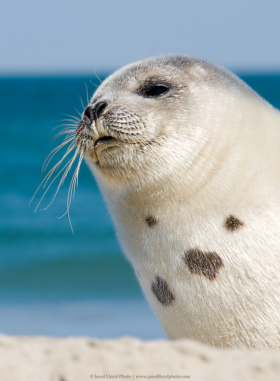 a young harp seal pup on the beaches of the Outer Banks of North Carolina in the winter