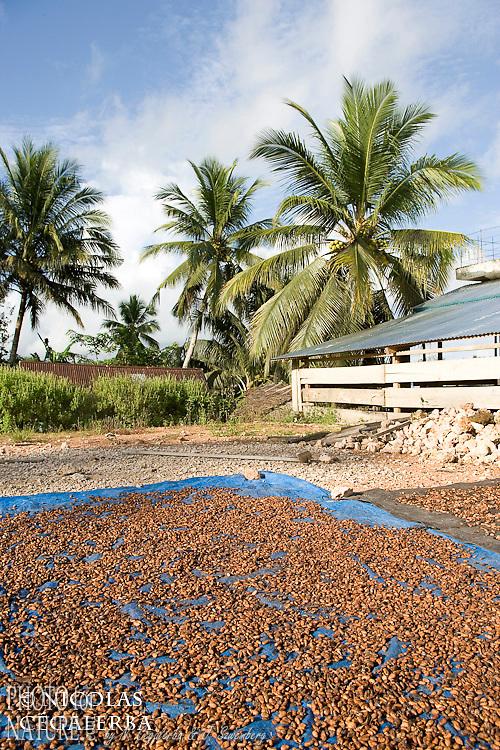 Fèves de cacao séchant au soleil dans la Ville de Banggai en Indonésie