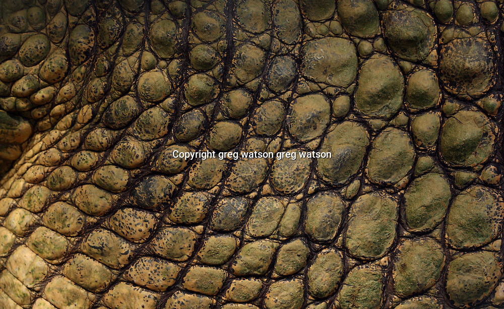 estuarine (saltwater) crocodile skin detail, wet tropics, north queensland
