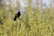 A male redwing blackbird puffs out as he serenades for a mate at the height of the spring dating season.