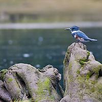 Rudyerd Bay Kingfisher