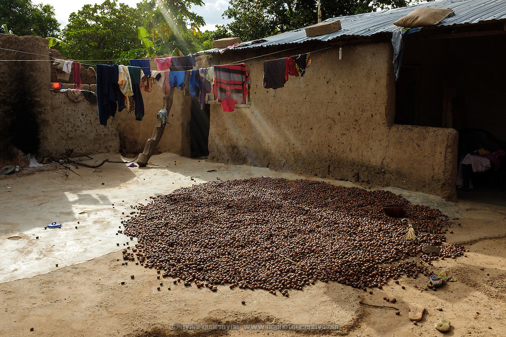 Shea nuts drying in a courtyard of a homestead in the village of Baazing in the Upper West region of Ghana. Though incredibly labour-intensive, shea butter production provides an important income stream for many women in the  Upper West region of Ghana.