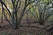 Hazel coppice, Stoke Wood, Oxfordshire.