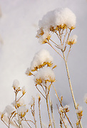 Winter snow on winter plant