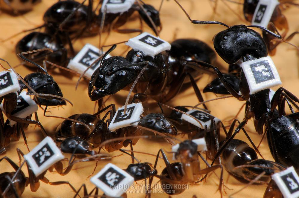 CHE, Schweiz: Rossameise oder Riesenameise (Camponotus fellah), mit Barcodes auf dem Ruecken, um zu erforschen, wie sie sich innerhalb der Kolonie organisieren, welchen Tagesrythmus sie haben und wie sie sich synchronisieren, Arbeiterinnen umringen die Koenigin, Universitaet Lausanne, Kanton Waadt | CHE, Switzerland: Carpenter ant (Camponotus fellah), with barcodes on back, for researching the organisation intra-colony, the diurnal rhythm and how they synchronizing themselves, worker ants surrouding queen, University of Lausanne, Canton of Vaud |