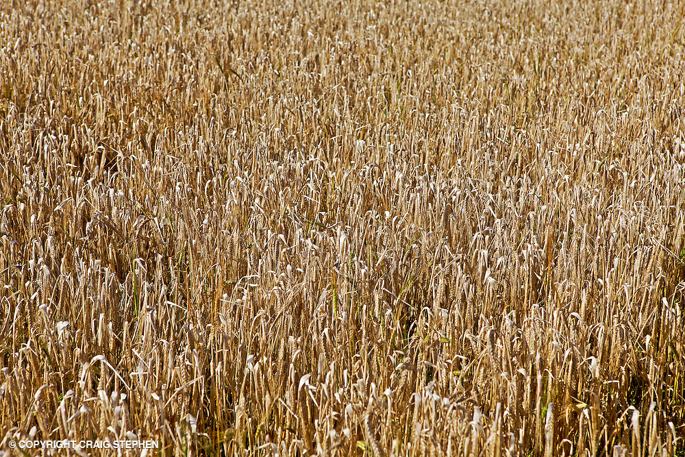Field of wheat photographed from above prior to harvesting