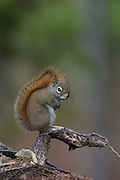 American Red Squirrel (Tamiasciurus hudsonicus), Bass Harbor, Maine