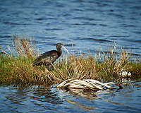 Glossy Ibis. Black Point Wildlife Drive, Merritt Island National Wildlife Refuge. Image taken with a Nikon D3s camera and 70-200mm f/2.8 lens with a 2.0 TC-E III teleconverter (ISO 200, 400 mm, f/5.6, 1/640 sec).