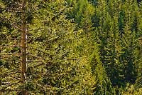 A Noble Fir, Alaskan Cedar, and Englemann Spruce forest fills the bottom of Stevens Canyon. Mount Rainier National Park, WA, USA