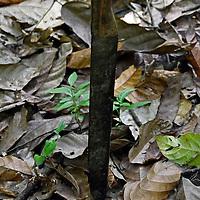 Machete, (cuchillo grande pero más corto que una espada) utiizado por el agricultor de cacao, para cortar el fruto y los matorrales. Jimmy Villalta