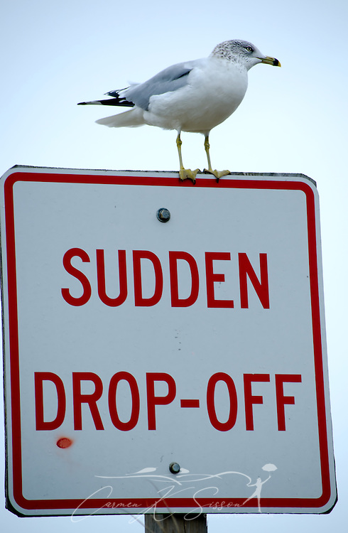A juvenile laughing gull perches on a sign on the east end of Dauphin Island, Ala. Dec. 25, 2011. (Photo by Carmen K. Sisson/Cloudybright)