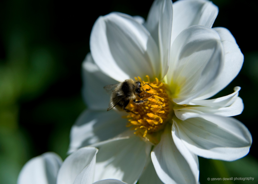 Honey Bee collecting pollen at The Butchart Gardens