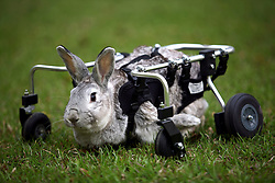 02 April 2010. Ponchatoula, Louisiana, USA. .Bebe the rabbit (nickname 'Wheels') and her custom built 'quad chair.' Bebe is a 9 year old rabbit, crippled with a very rare condition called splay leg when she was 7 yrs old. One year later, her owner Kathy Harris (66 yrs) contacted the company Doggon Wheels of Bozeman, Montana. Unusually Bebe has the use of her rear legs, most animals Doggon Wheels make chairs for are for animals that have lost the use of their rear legs. Kathy's vet took precisie measurements of Bebe and sent them to Doggon Wheels who made the first custom quad chair for a rabbit. .Photo; Charlie Varley.