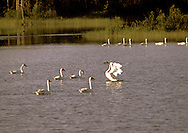"""Tundra  Swans at Seney National Wildllife Refuge, Upper Michigan.  All white bird with black bill.    AKA """"Whistling Swan""""  Color on heads is from tannic waters they feed in."""