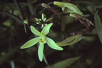 vanilla flower, french polynesia