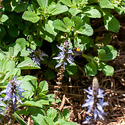 Black and yellow Bumble bee visits a Blue Lobster flower Plectranthus neochilus (lobster bush, fly bush, or mosquito bush) is a perennial ground cover with highly fragrant, partially scalloped, ovate leaves. Flowers are purple blue inflorescent spikes