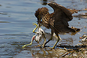 A snowy egret chick has fallen from its nest and black-crowned night-heron has attacked it.