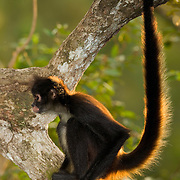 Central American Spider Monkey (Ateles geoffroyi).  The Belize Zoo, Belize, Central America