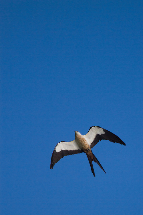 Swallow-tail Kite, Everglades National Park.<br /> Birding in the Everglades and Florida Keys. Everglades