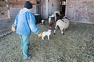 Goshen, New York - A farmer herds lambs and sheep lamb into the barn on a cold winter afternoon at Banbury Cross Farm on Feb. 20, 2015.